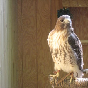 off-center photo of a redtailed hawk looking to the side